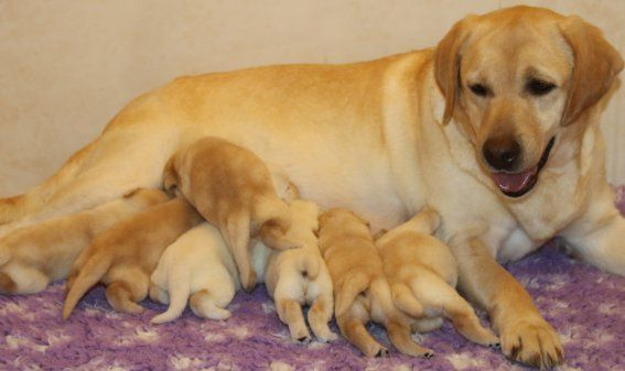 Du clos de nissa-bella - Chiot disponible  - Labrador Retriever