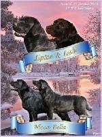 Labrador Retriever - Du clos de nissa-bella