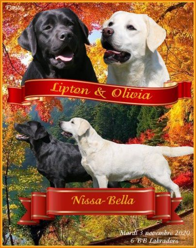 Du clos de nissa-bella - Chiot disponible  - Labrador Retriever