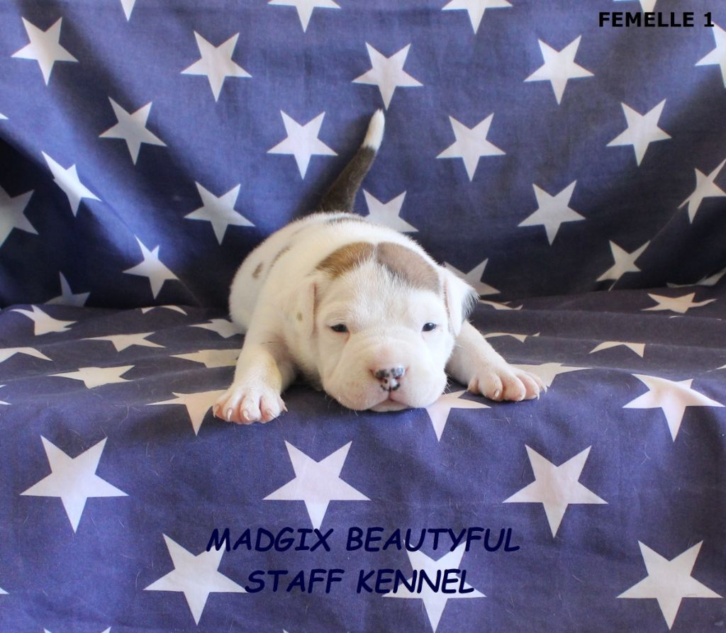 Madgix beautyful staff - Chiot disponible  - American Staffordshire Terrier