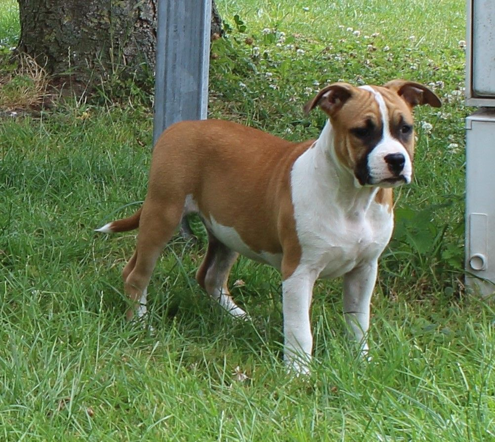 MOLLY - American Staffordshire Terrier