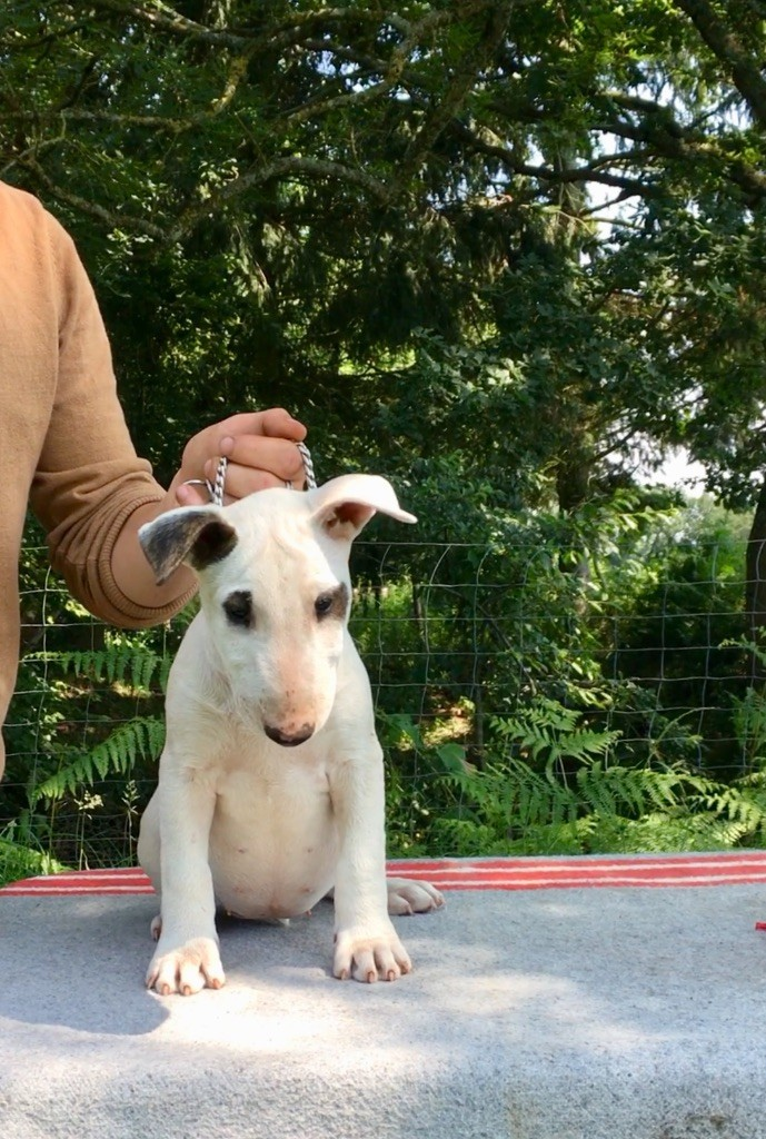 Les sens Daika - Chiot disponible  - Bull Terrier
