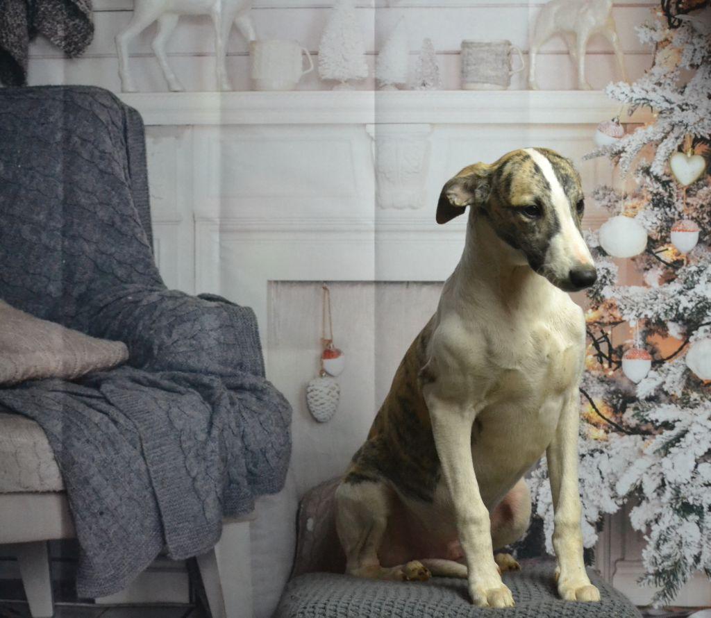 Des Alizes De Maelynn - Chiot disponible  - Whippet