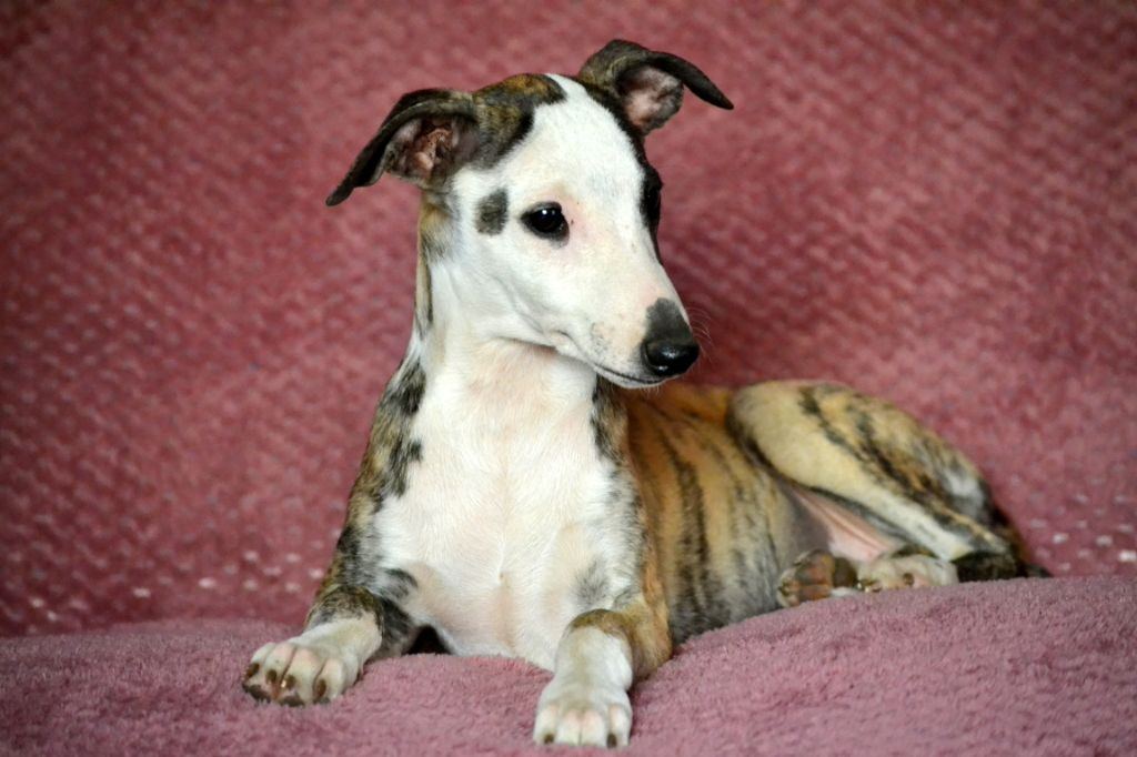 OREGANE FLAWLESS FACE - Whippet