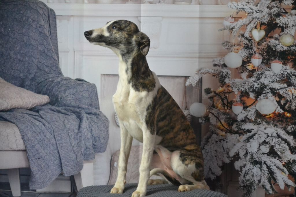 ODE FLAWLESS LOVE  - Whippet