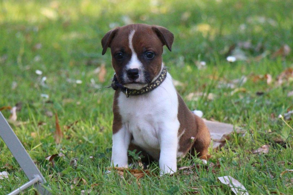 Male 2 Collier Gris et Doré - Staffordshire Bull Terrier