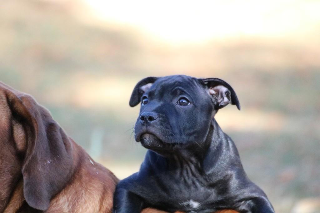 De l'Empire d'Idefix - Chiot disponible  - Staffordshire Bull Terrier