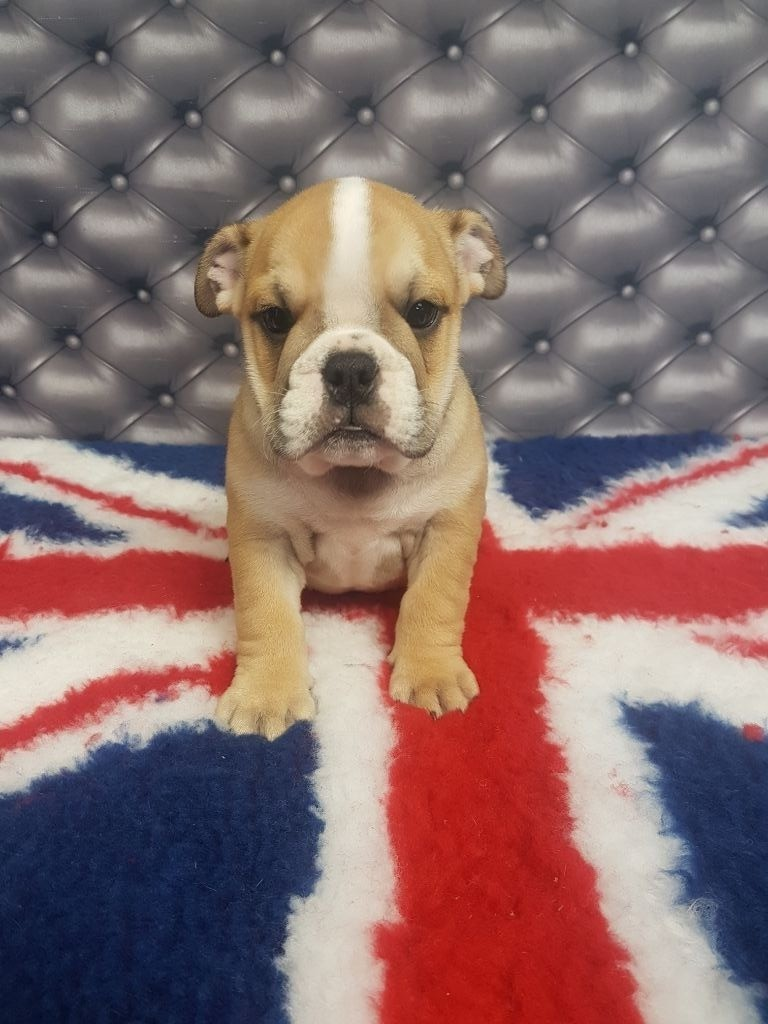 Wonders of the World - Chiot disponible  - Bulldog Anglais