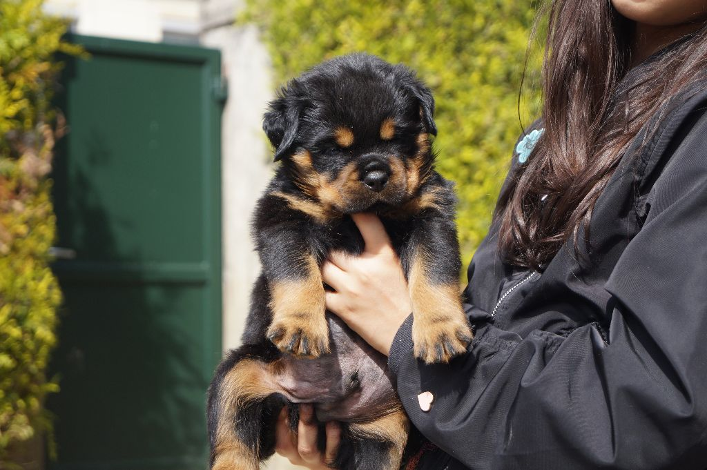 Warriors Of Lusitania - Chiot disponible  - Rottweiler