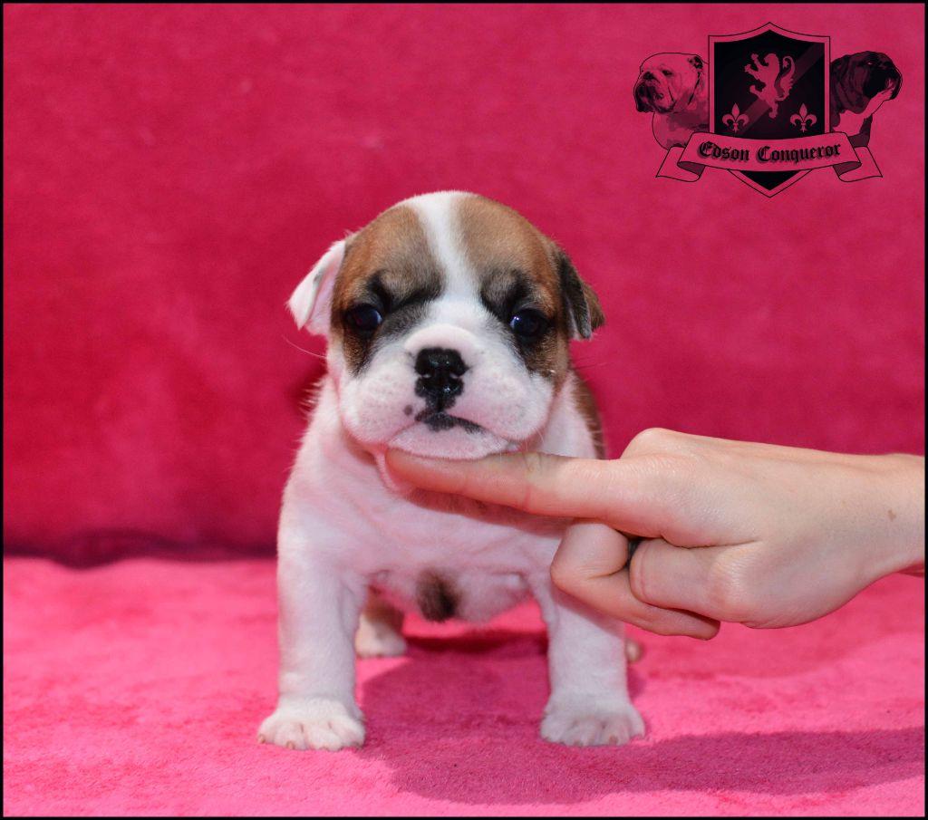Edson Conqueror - Chiot disponible  - Bulldog Anglais
