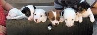 Jack Russell Terrier - (Sans Affixe)