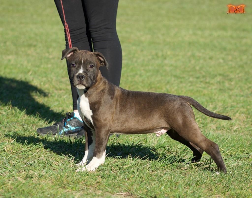Du Bosquet Aux Loups - Chiot disponible  - American Staffordshire Terrier