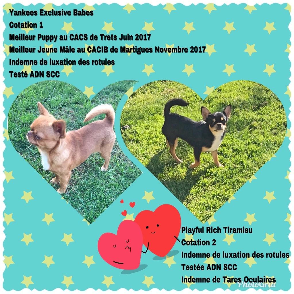 Des Petits Tresors D'Azur - Chihuahua - Portée née le 21/01/2018