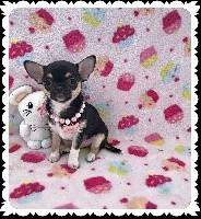 Des Petits Tresors D'Azur - Chihuahua - Portée née le 22/01/2017