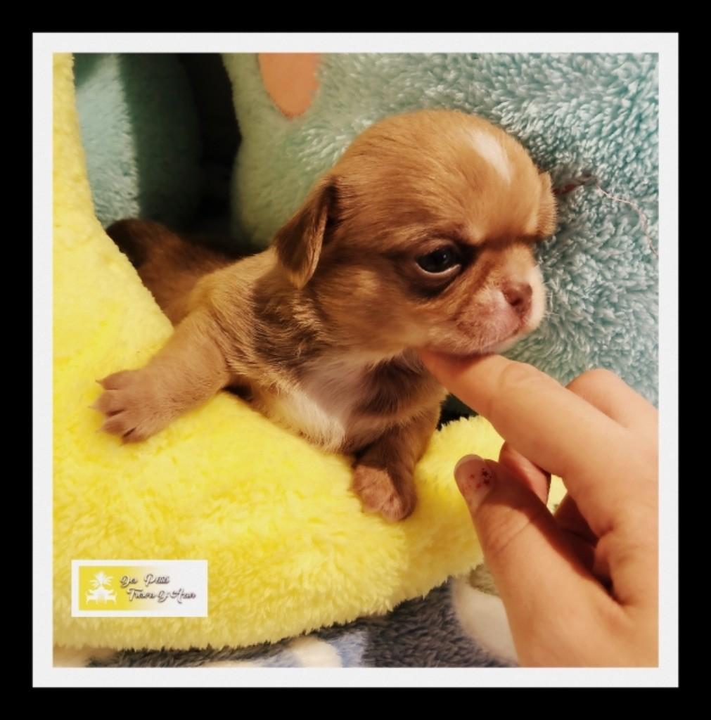 Des Petits Tresors D'Azur - Chiot disponible  - Chihuahua