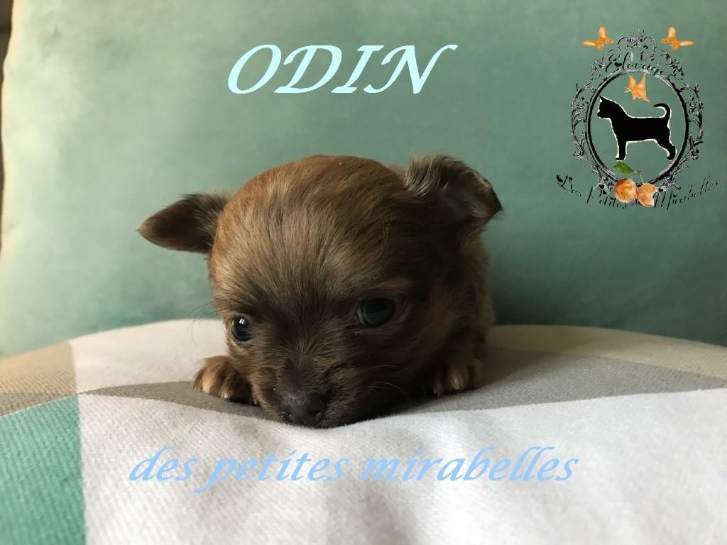 ODIN - Chihuahua
