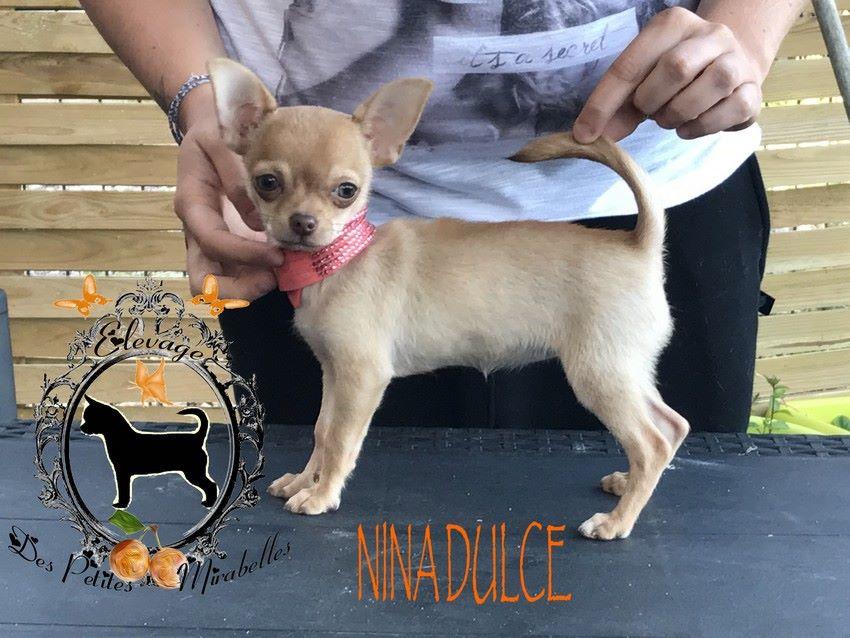 NINA DULCE - Chihuahua