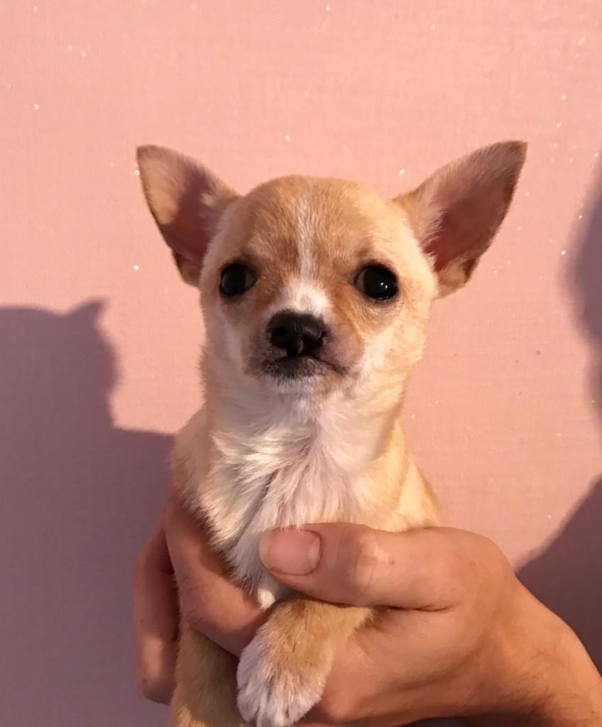 Des Petites Mirabelles - Chiot disponible  - Chihuahua