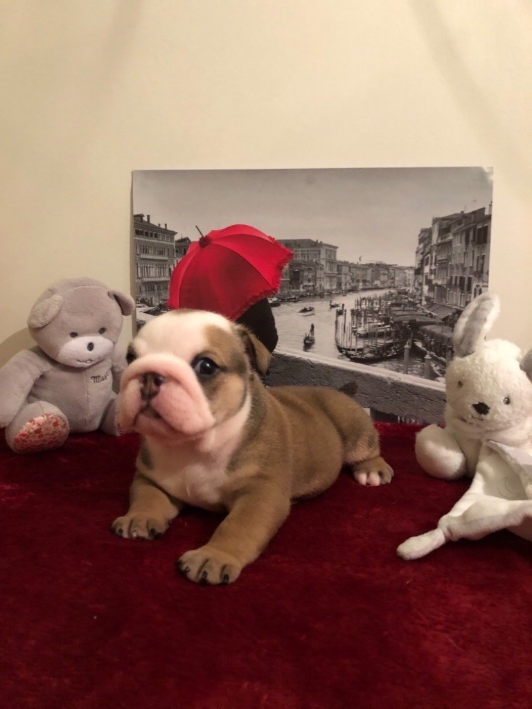 Little Happy Bull's - Chiot disponible  - Bulldog Anglais