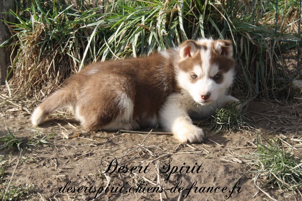 Desert Spirit - Chiot disponible  - Siberian Husky