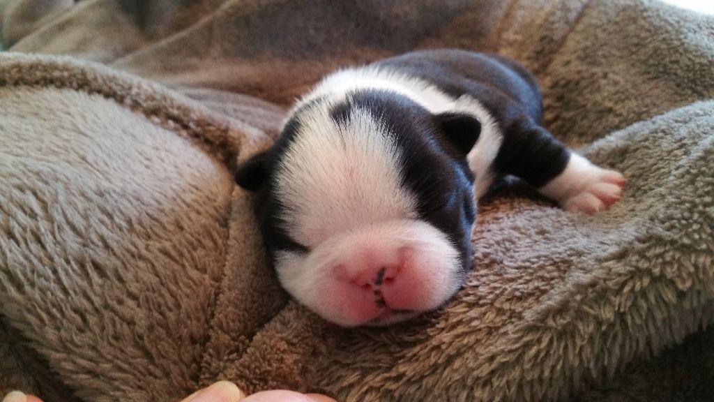 de la Source Sainte Pétronille - Chiot disponible  - Boston Terrier