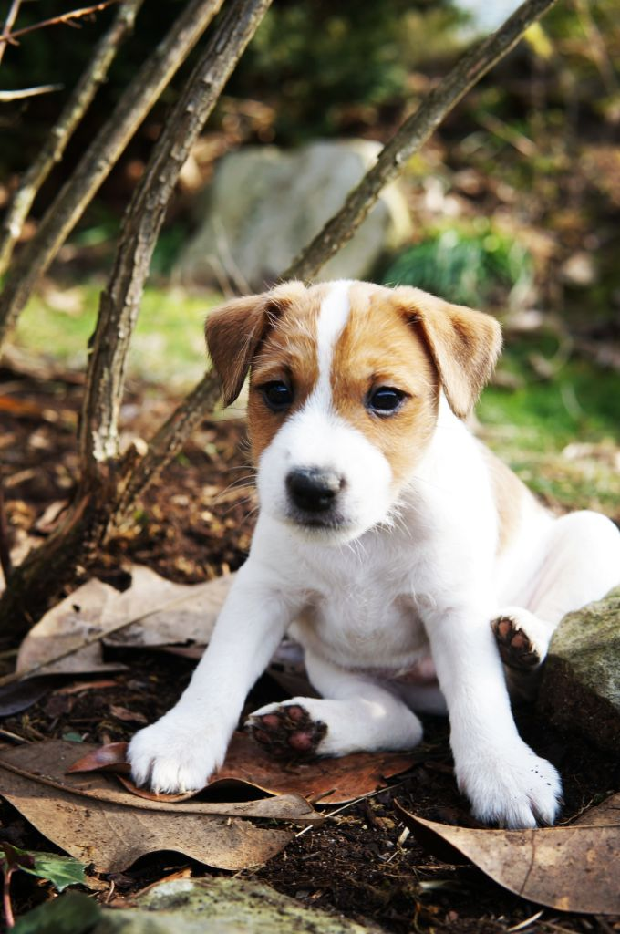 Cody's Quest Pick Me Up - Parson Russell Terrier