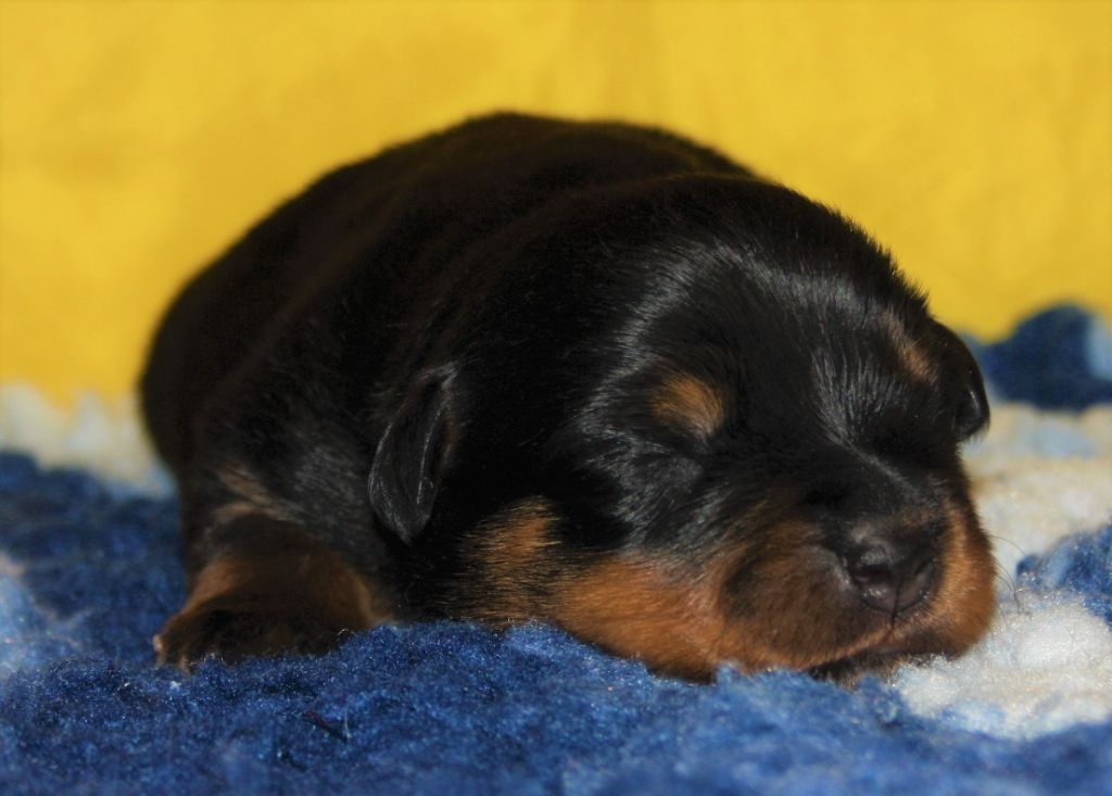 Kingdom Of Treasures - Chiot disponible  - Rottweiler