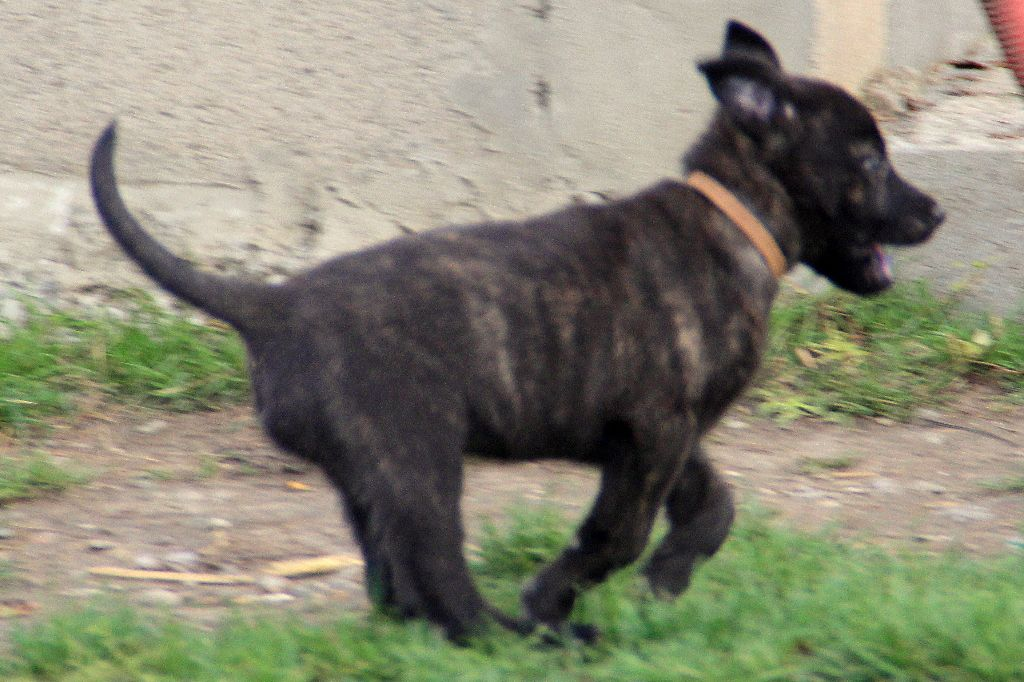 Des Louves Du Houtland - Chiot disponible  - Berger hollandais