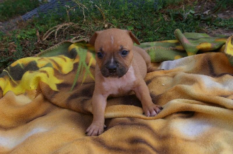 Du Domaine De Samsha - Chiot disponible  - American Staffordshire Terrier