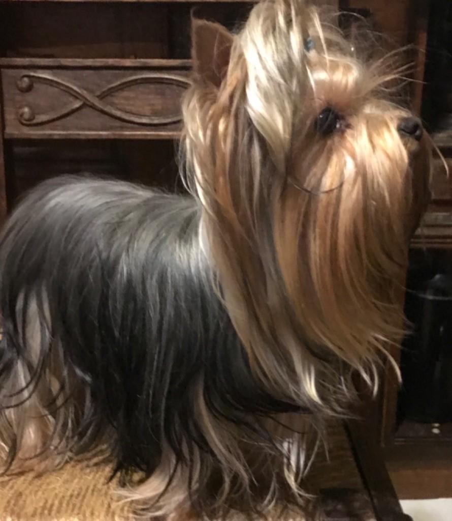 du Royaume d'Hautecour - Chiot disponible  - Yorkshire Terrier