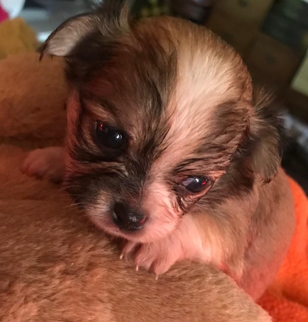 du Royaume d'Hautecour - Chiot disponible  - Chihuahua