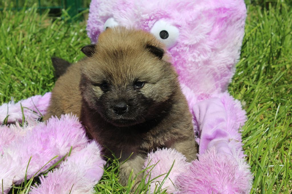 Peatch - Eurasier