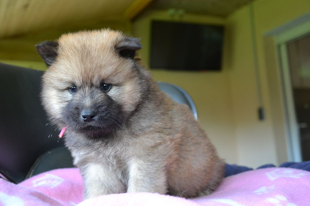 Powell - Eurasier