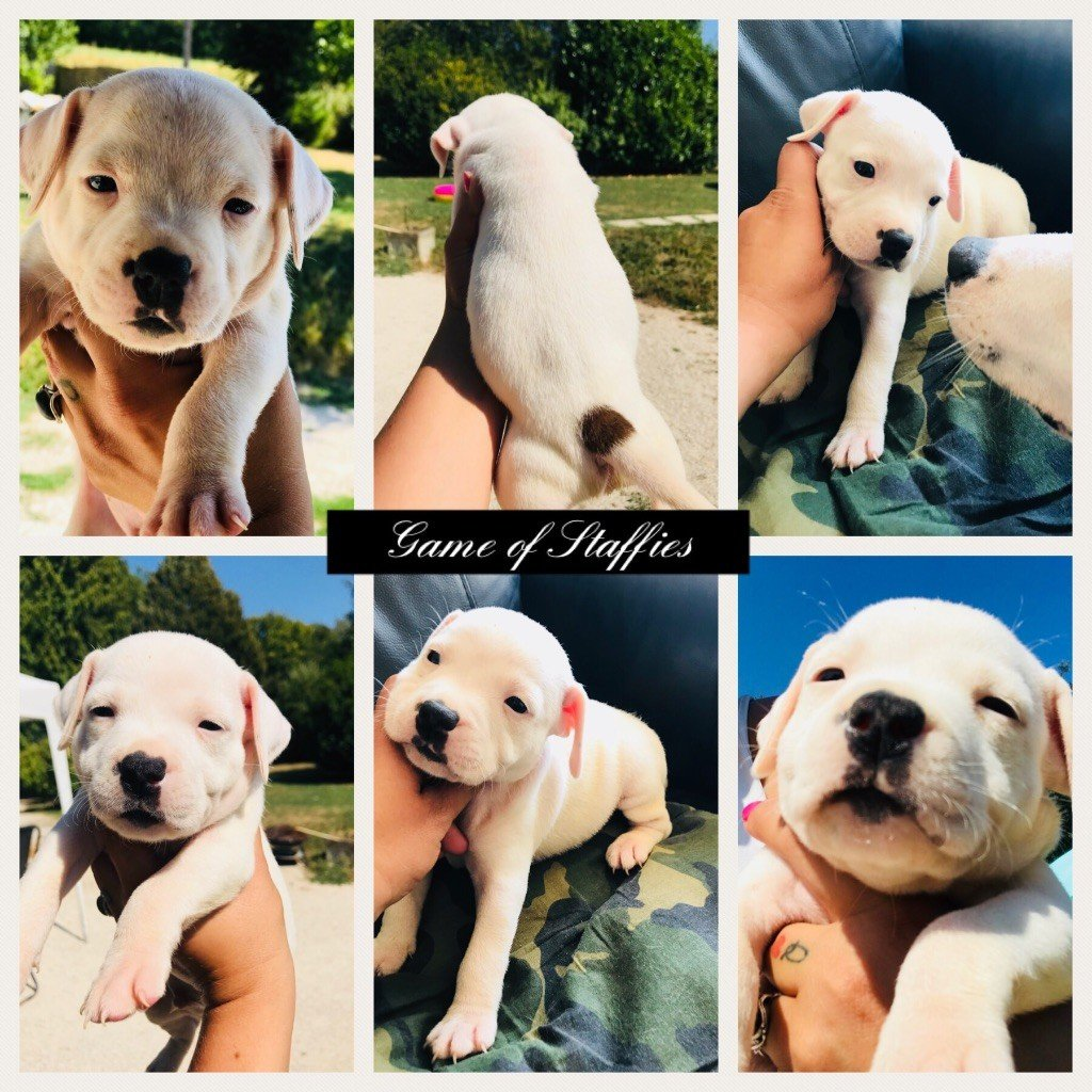 Game Of Staffies - Chiot disponible  - Staffordshire Bull Terrier