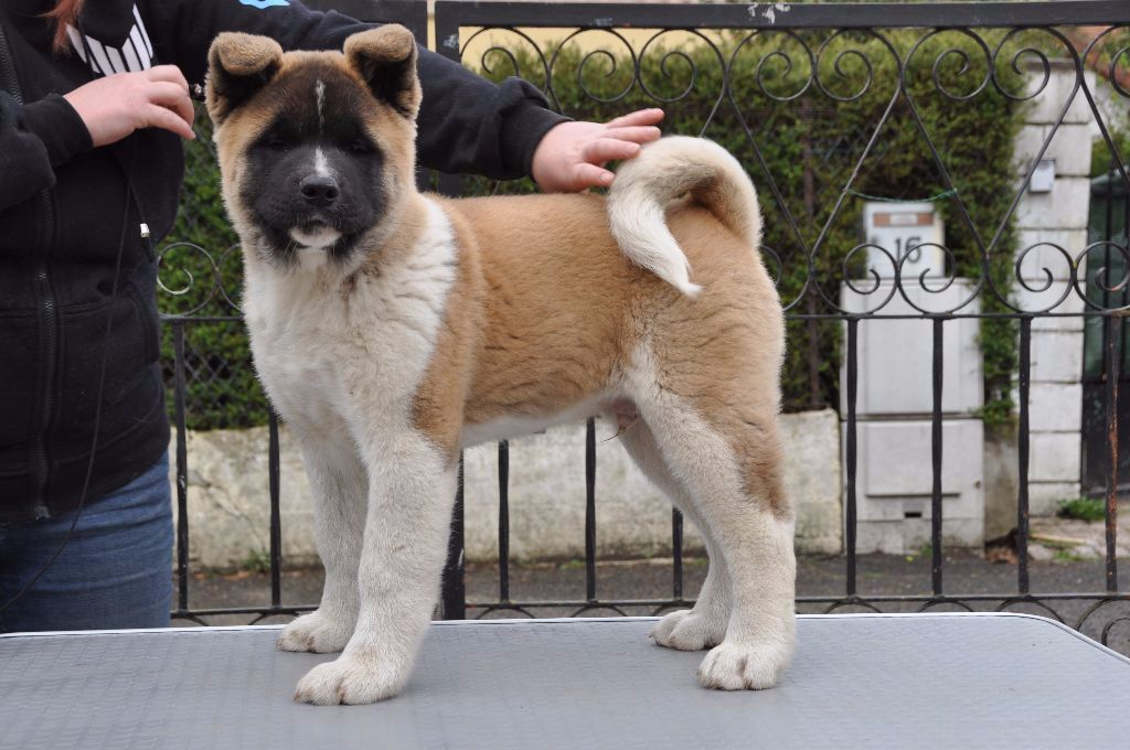 Marvel'house Akitas - Chiot disponible  - Akita americain