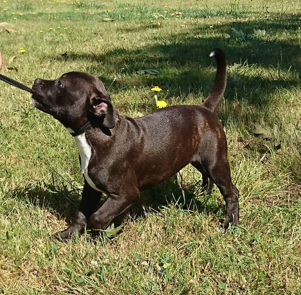 Ozzy Osbourne des Brumes du Rivalier - Staffordshire Bull Terrier
