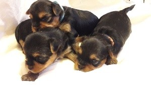 Yorkshire Terrier - Des Naïades Du Marais