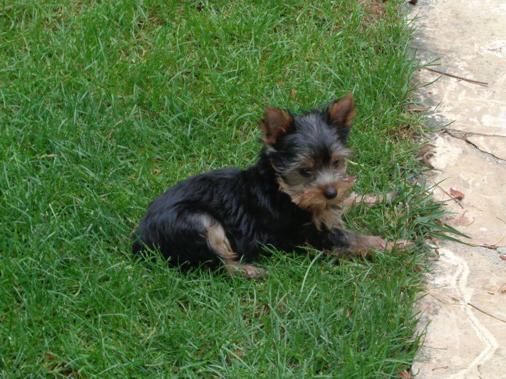 NEMO - Yorkshire Terrier