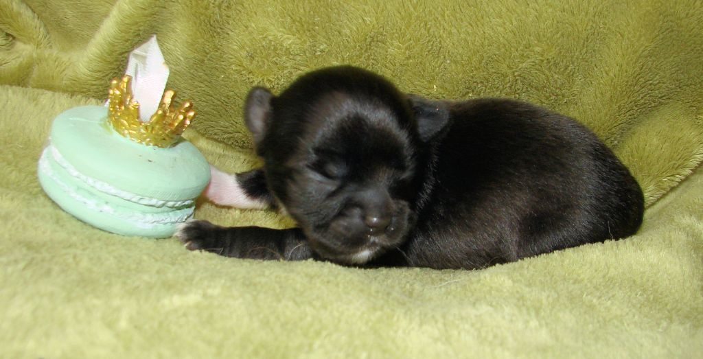 Of Elderflower Cottage - Chiot disponible  - Chihuahua