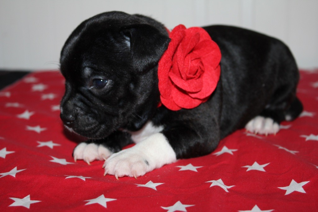 PACIFIA - Staffordshire Bull Terrier