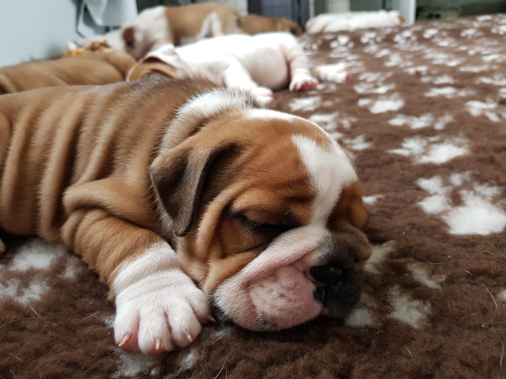 Du Royaume De Layena - Chiot disponible  - Bulldog Anglais