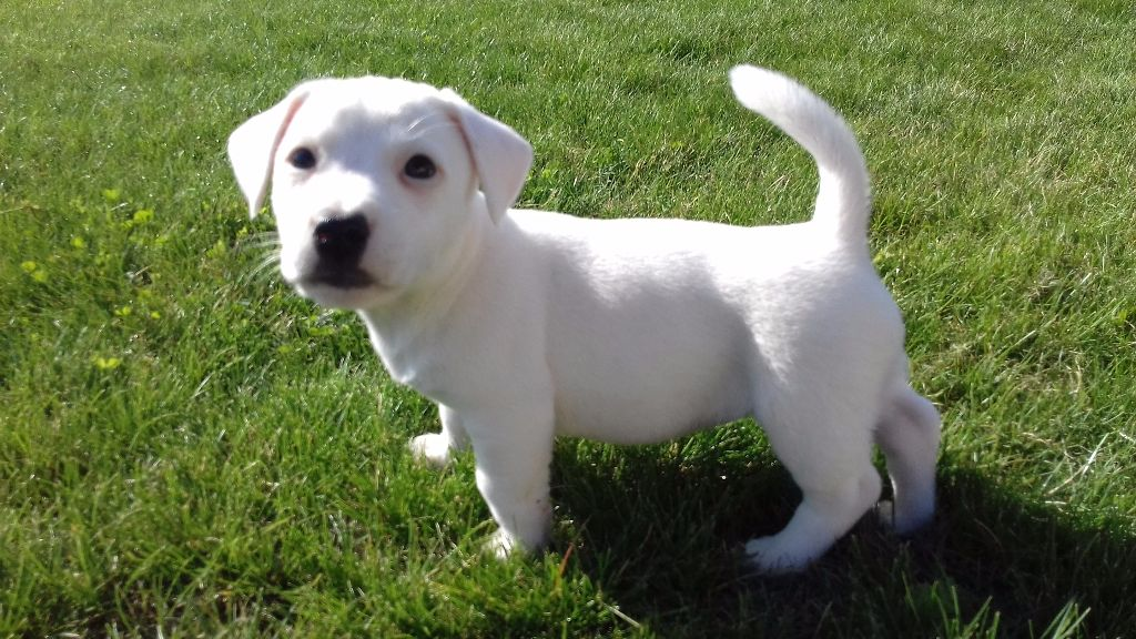 chiot jack russell terrier femelle disponible en pays de la loire 49 maine et loire toutes. Black Bedroom Furniture Sets. Home Design Ideas