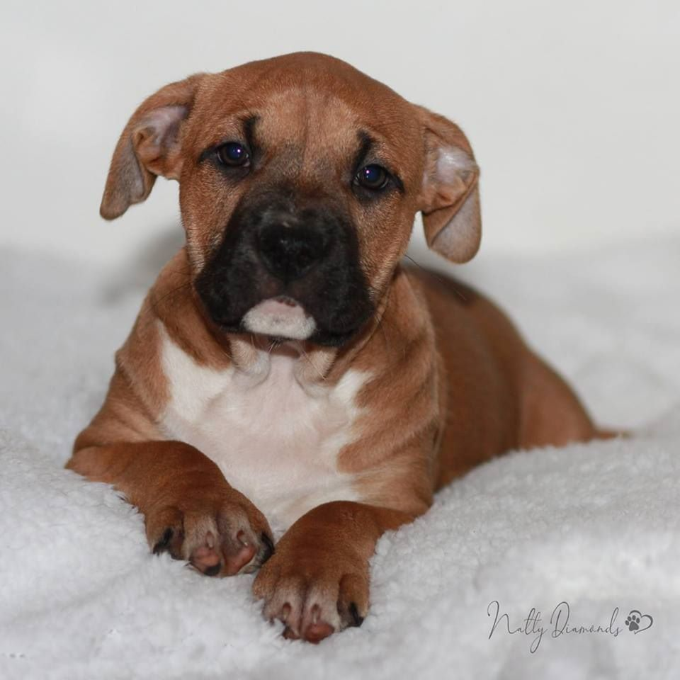 Natty Diamonds - Chiot disponible  - American Staffordshire Terrier