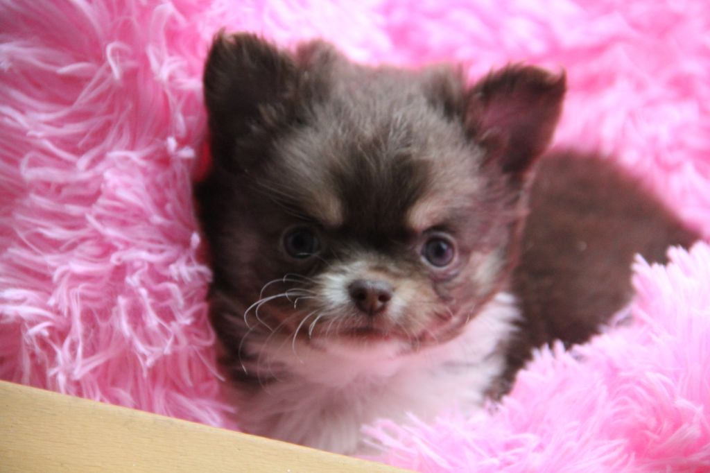 Du royaume de Matiliane - Chiot disponible  - Chihuahua