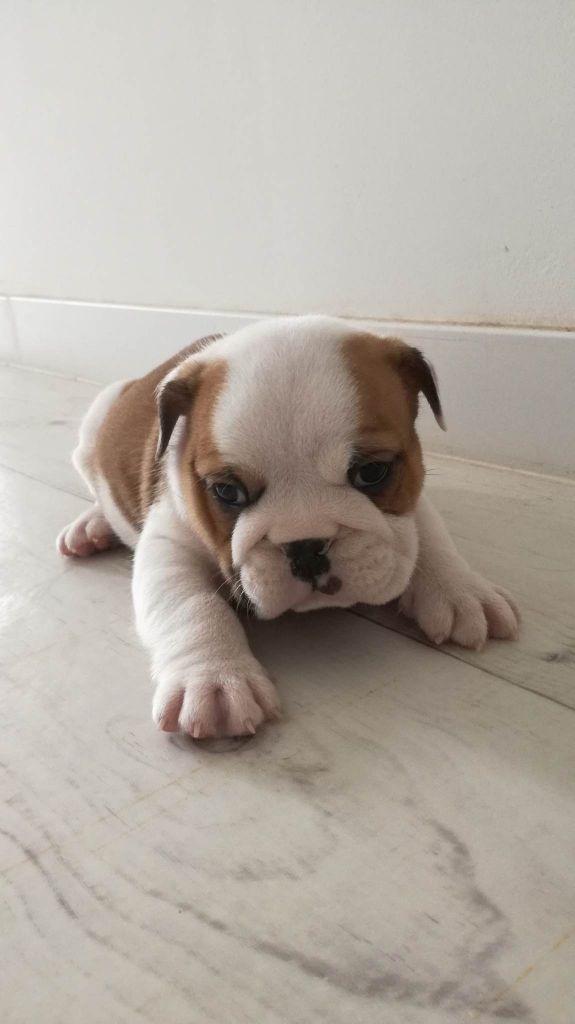 CHIOT - Bulldog Anglais