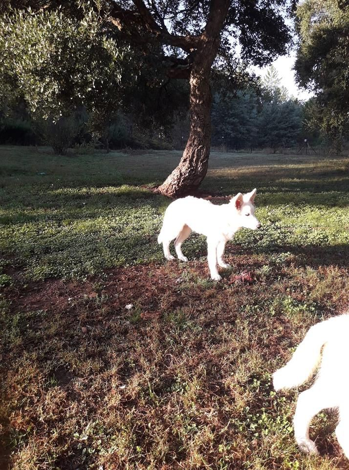 Shepherd's Love Story - Chiot disponible  - Berger Blanc Suisse