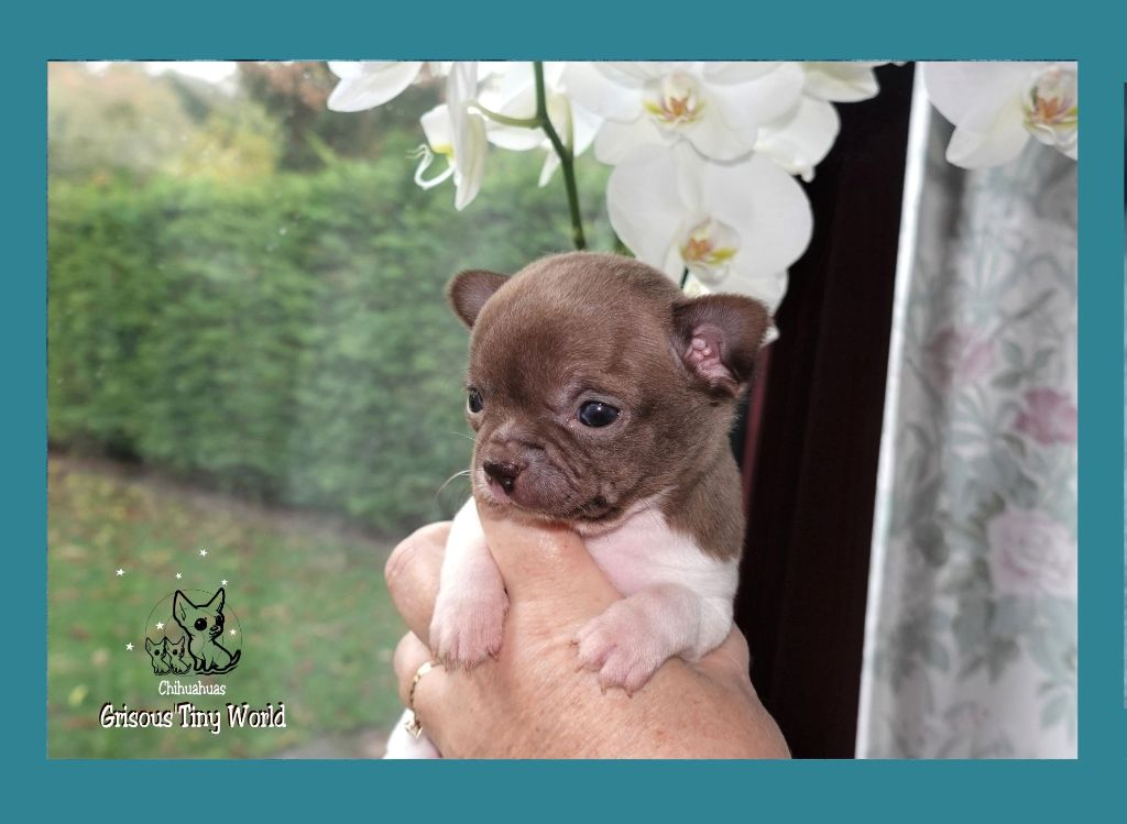 du Grisous'tiny World - Chiot disponible  - Chihuahua