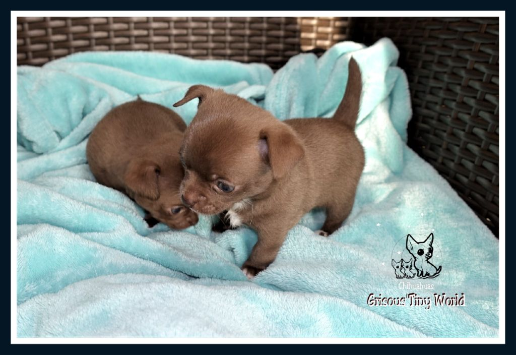 chiot Chihuahua du Grisous'tiny World