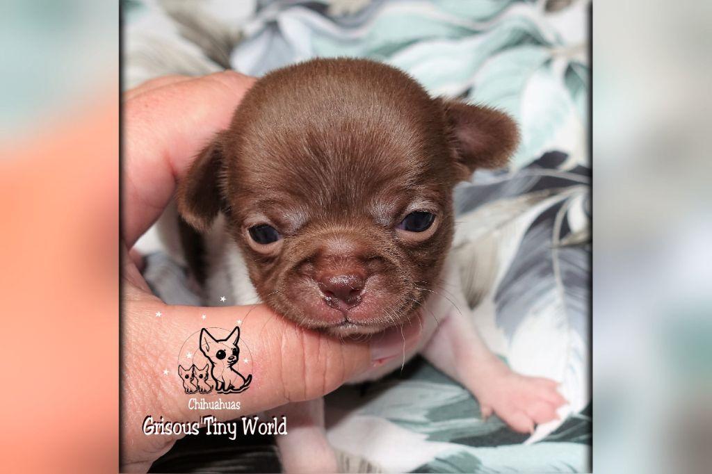 du Grisous'tiny World - Chiot disponible  - Chihuahua
