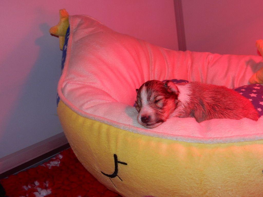 D'Ambre et d'ébène - Chiot disponible  - Shetland Sheepdog